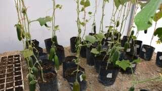 Plant Life 360 - Cucumbers