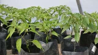 CHILI JALAPENO PLANTS