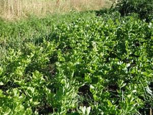 celery seed treats alzheimers