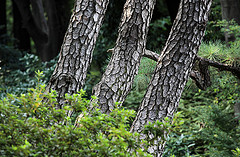 pine tree bark and inflammation