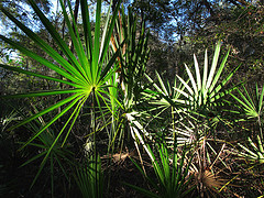 BPH treated by saw palmetto
