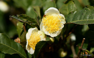 Green tea - Camellia sinensis - H. pylori