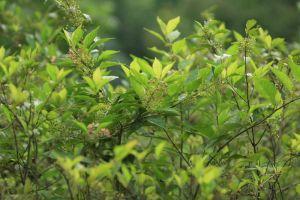 Ampelopsis japonica halts breast cancer