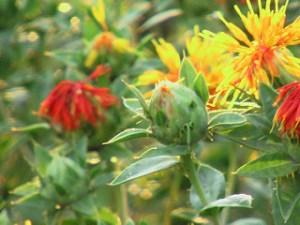 safflower yellow treats sepsis