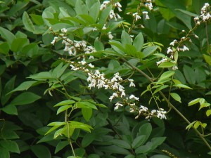derris scandens treats muscle and joint pain