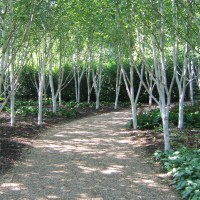 BOOKING OPEN: Betula identification and cultivation