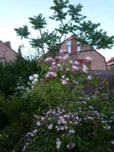 Kolwitzia 'Pink Cloud'
