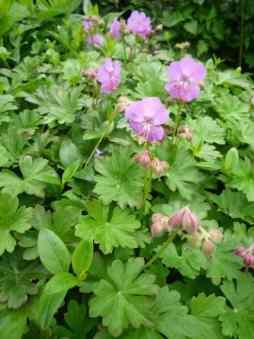 Geranium cantabrigiense Cambridge