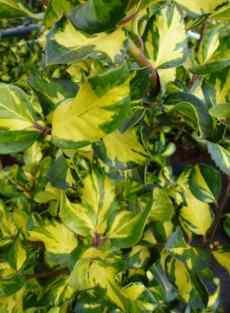 Ilex altaclerensis Lawsoniana