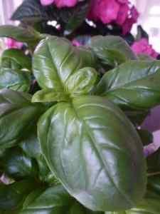 Ocimum Basillicum