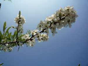 Bloei Pyrus Salicifolia Pendula