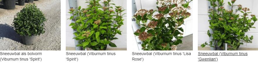 Viburnum tinus kopen