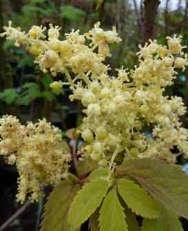 Sambucus racemosa Plumosa Aurea