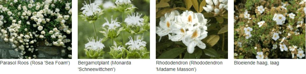 Wit bloeiende planten kopen