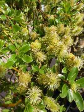 Salix arbuscula
