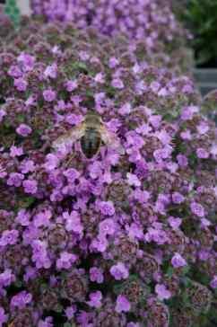 Thymus serphyllum