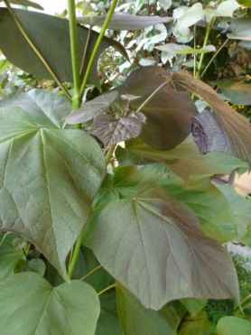 Catalpa erubescens Purpurea