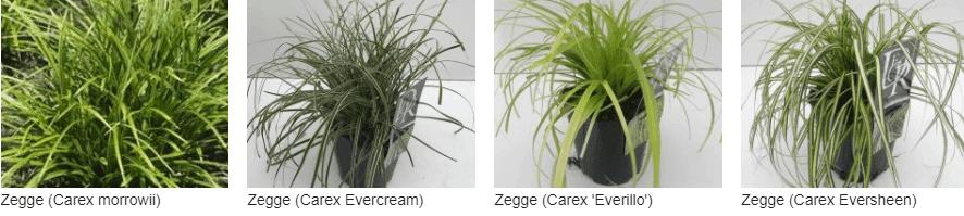 Carex kopen