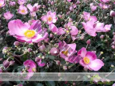 Anemone Fantasy Jasmine