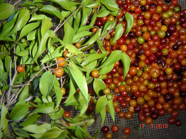 Guavaberry Rumberry
