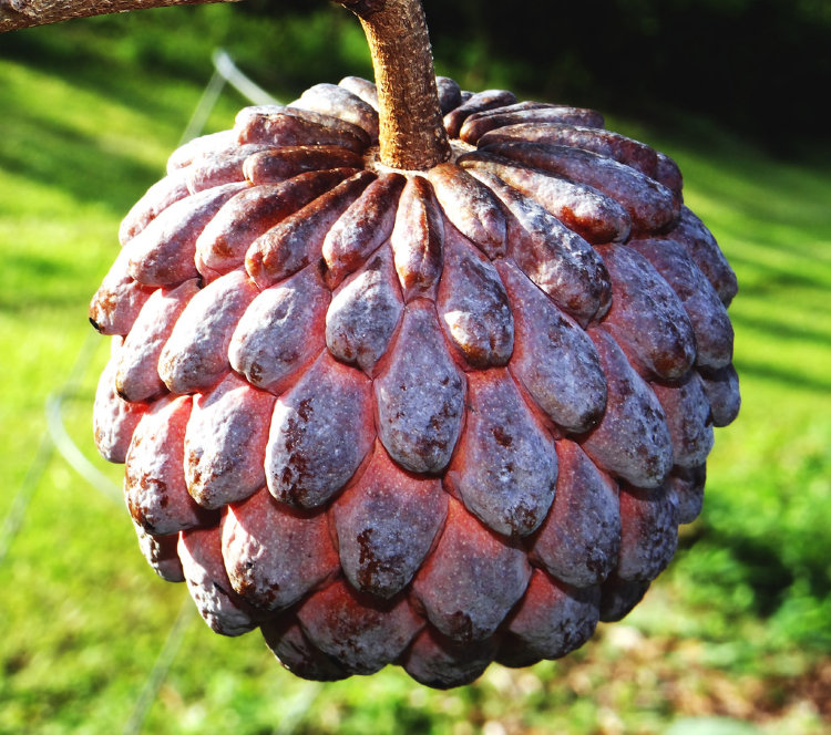Sugar Apple Red Grafted Kampong Mauve Variety