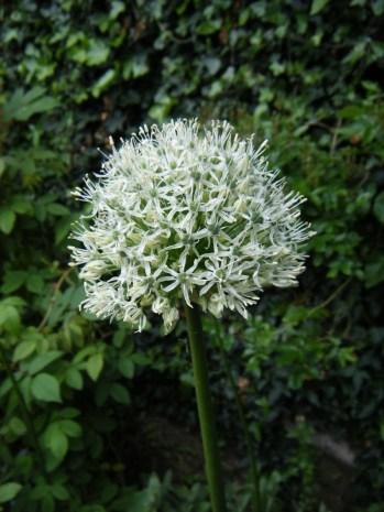 Allium mount everest (3)