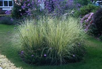 front garden - miscanthus