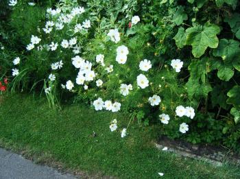 cosmos white flower