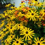 rudbeckia goldstrum 2