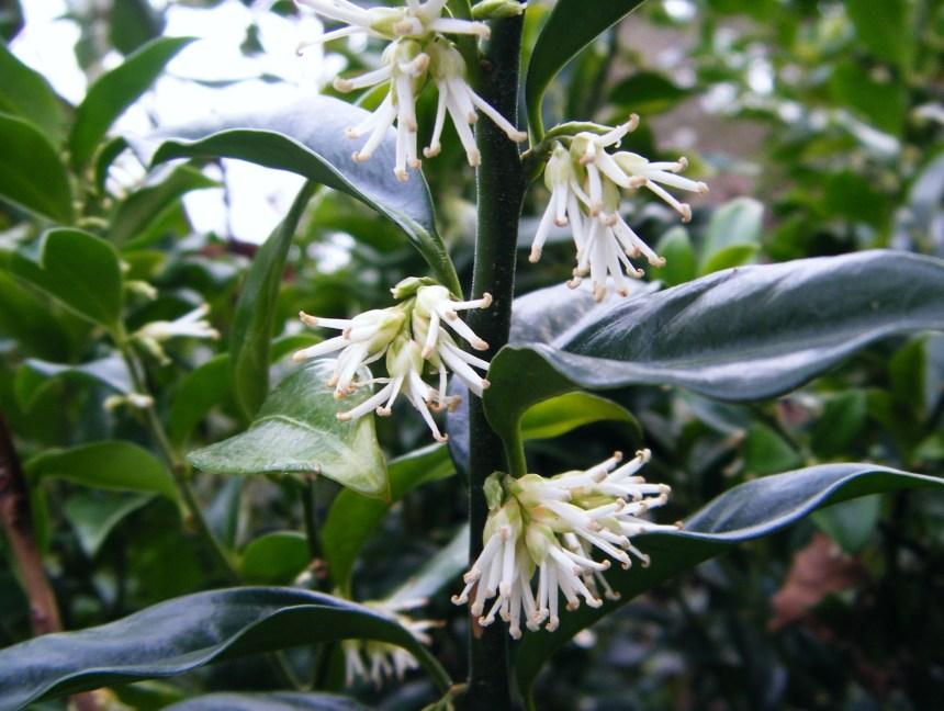 sarcococca flowers (2) horizontaal crop