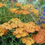 achillea close up
