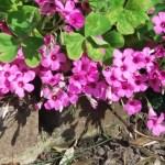 Oxalis pink