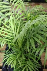 Parlour Palm - air purifier