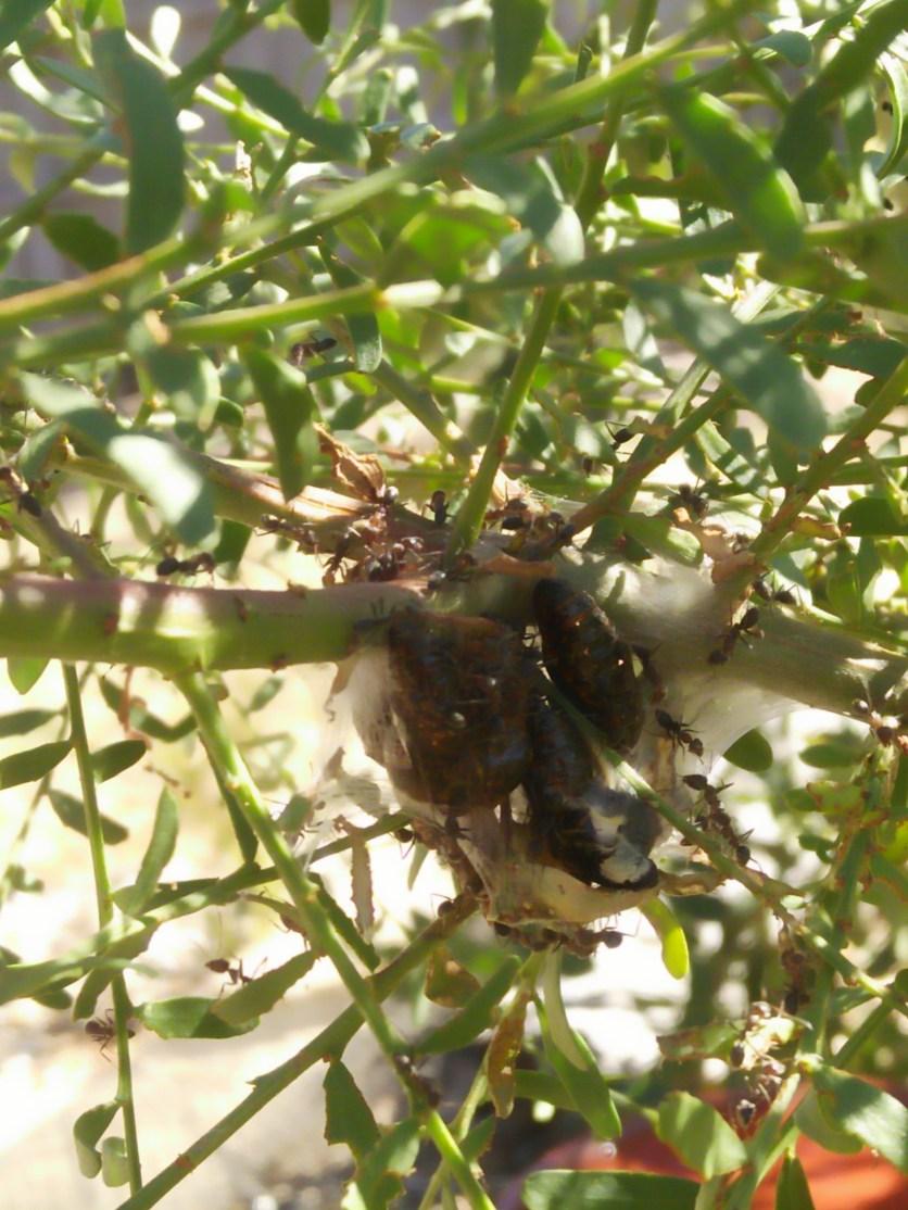 ants attending chrysalises