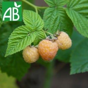 Plants Petits Fruits Framboisier Fall Gold Bio