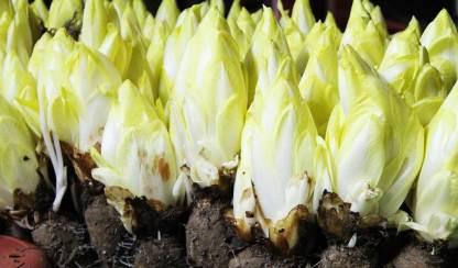 endives plants