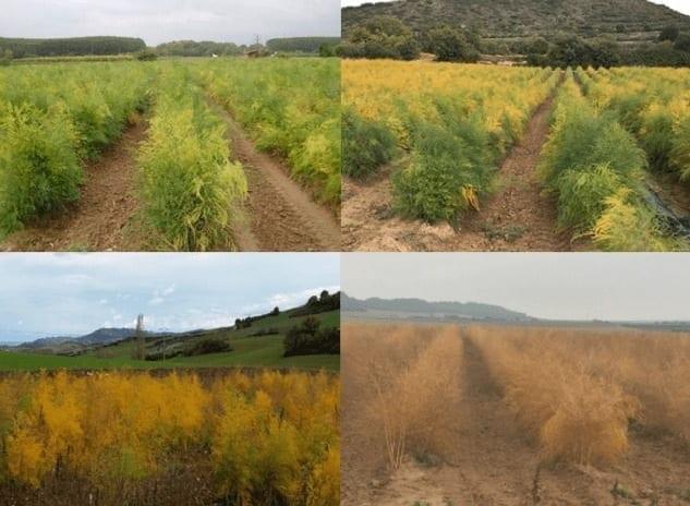 Une plantation d'asperges