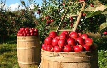récolte des pommes pommiers bio