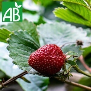 Plants Petits Fruits Fraisier Matis A Bio
