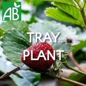Petits Plants Fruits Rouges Fraisier Ciflorette Tray Plants