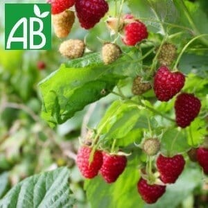 Plants Petits Fruits Framboisier Héritage Godet 9 Bio