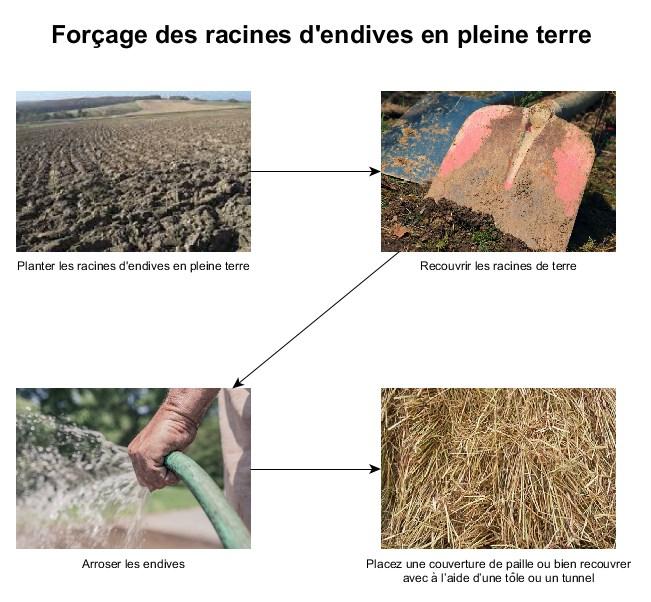comment faire le forçage des endives en pleine terre (schéma)
