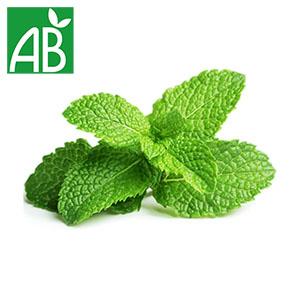 Plant chaud de menthe verte biologique verte dentelées et rugueuses