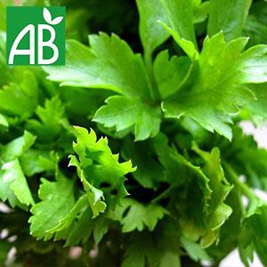 Plant de persil Géant d'Italie à feuilles verte et dentelées
