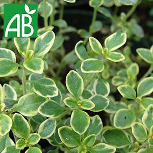 Plant chaud de thym citron biologique petites feuilles vertes avec liserait externe jaune petites et ovales