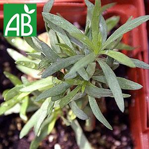 Plant chaud d'estragon Français biologique en pot à feuilles vertes, fines et longues.
