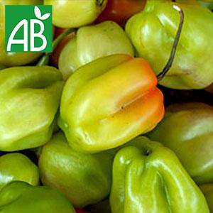 Plant chaud de Poivron Doux des Landes biologique de couleur verte qui change par la suite en couleur rouge