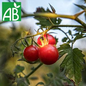 Plant chaud de tomates grappes Premio biologique à fruit petits, ronds et rouges