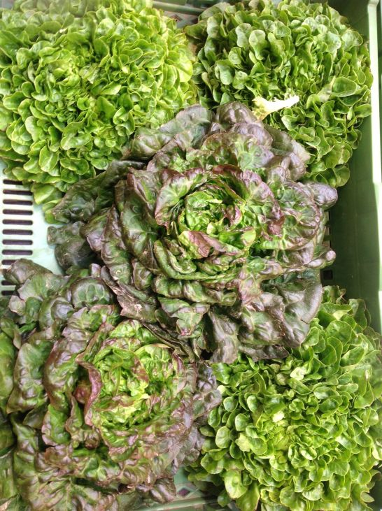 Beautiful Organic Bibb Lettuce from the Farmer's Market