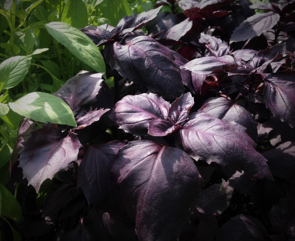 Purple Basil Organic Herbs at Chicago's Green City Farmer's Market